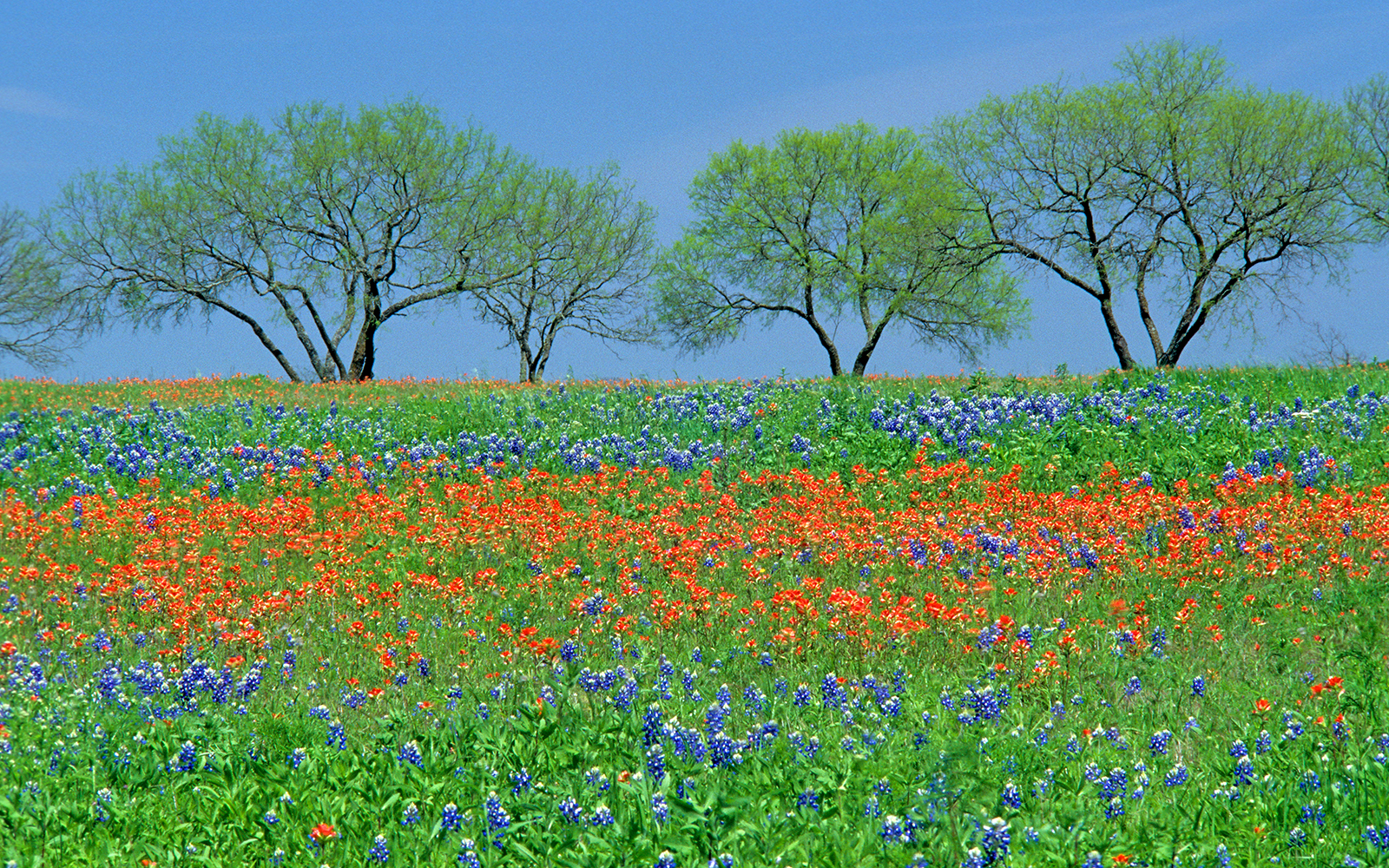 Field of spring wildflowers, Texas bluebonnets and Texas paintbrush, with four mesquite trees in Texas hill country.