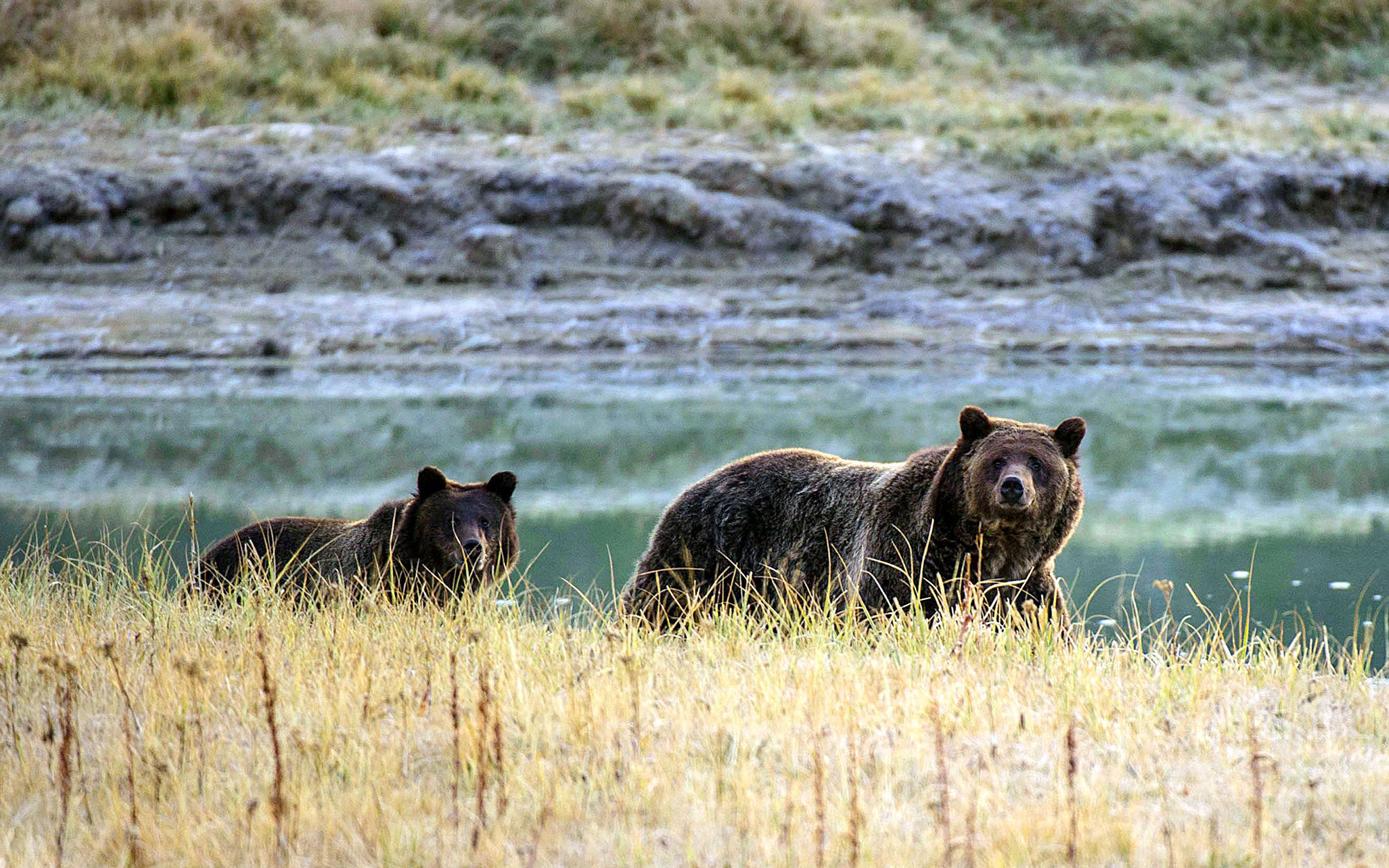 A Grizzly bear mother and her cub walk near Pelican Creek October 8, 2012 in the Yellowstone National Park in Wyoming.Yellowstone National Park is America's first national park. It was established in 1872. Yellowstone extends through Wyoming, Montana, and