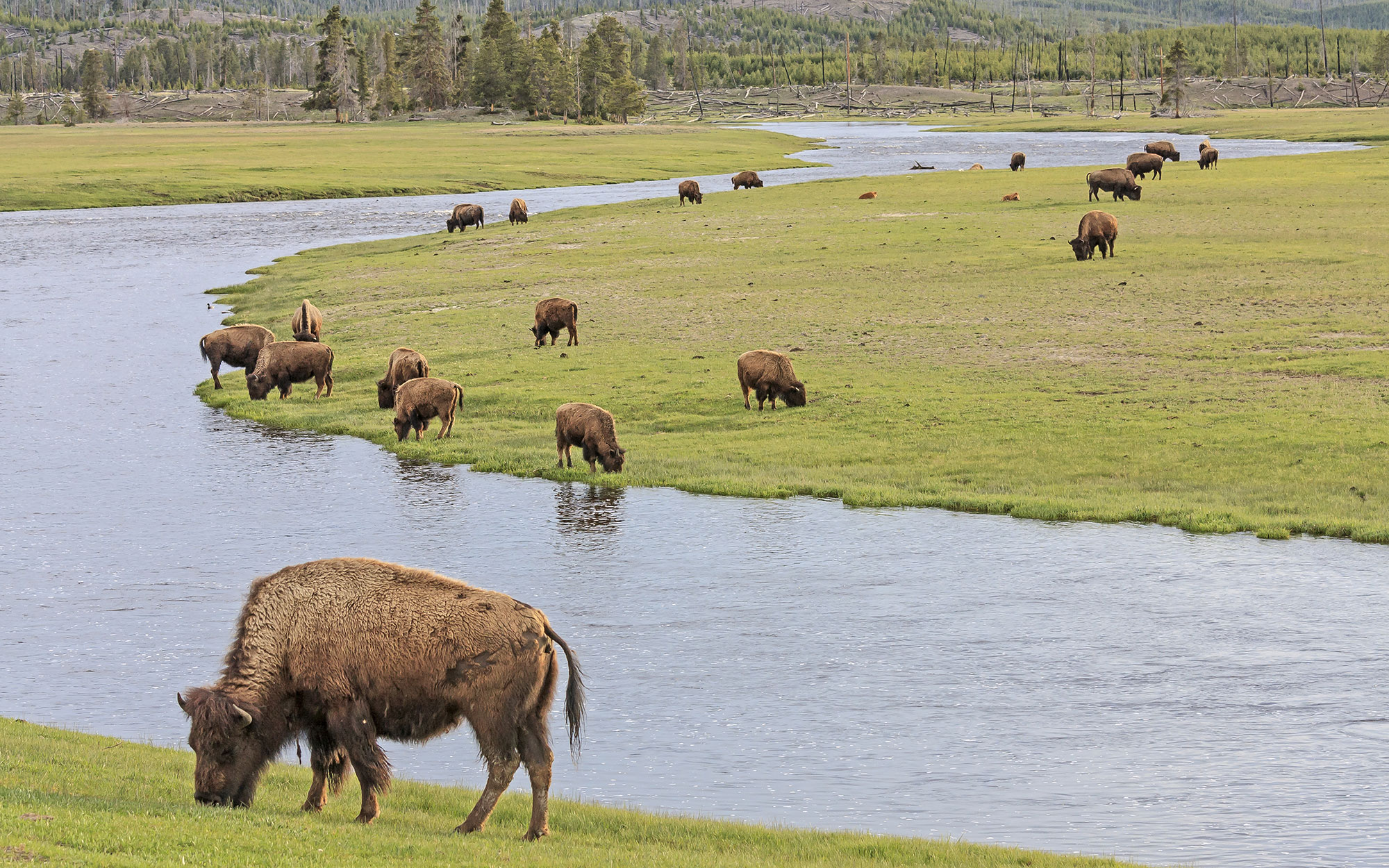 United States, Wyoming, Rocky Mountains, bisons on the Gibbon River banks