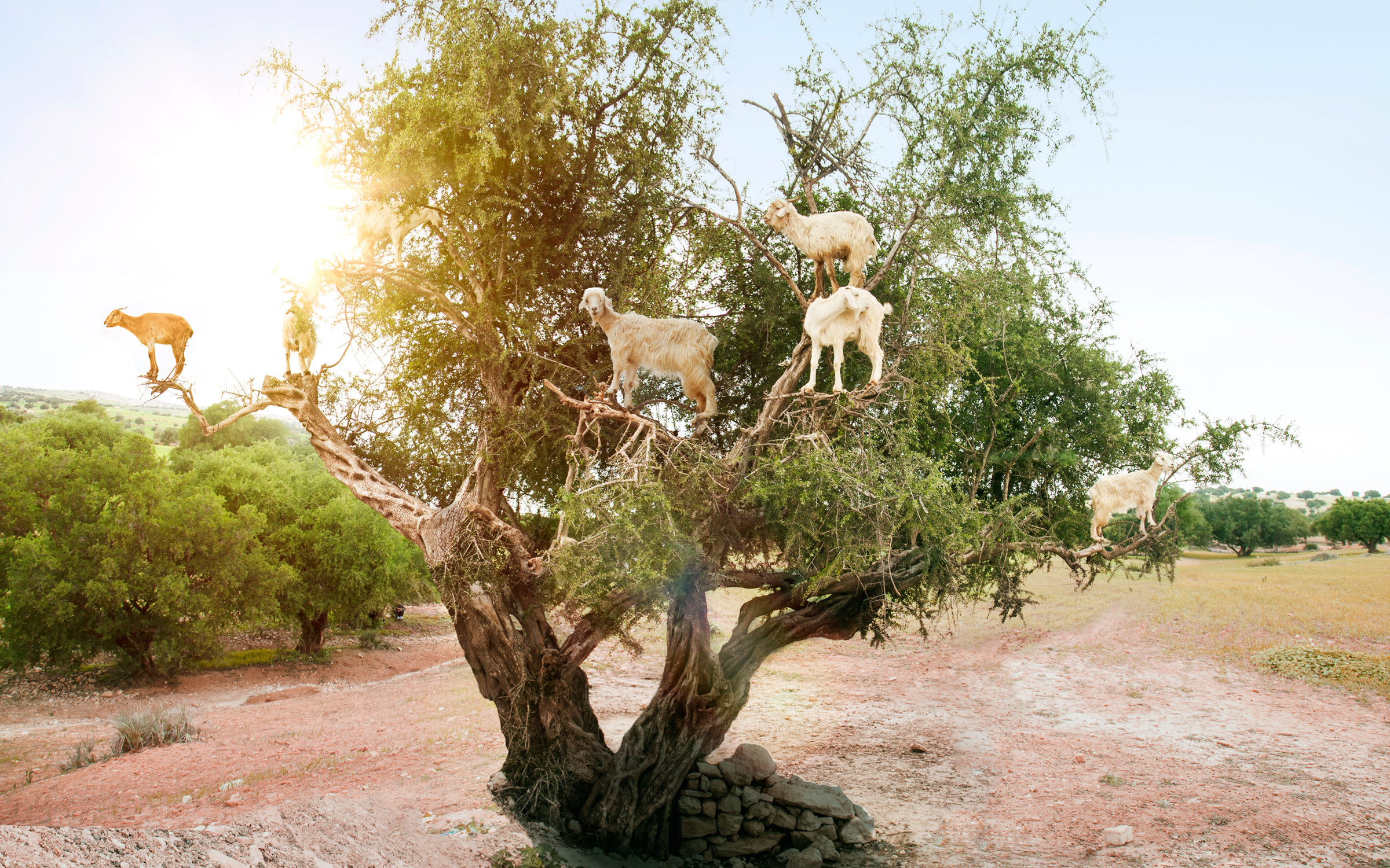 Moroccan Tree Goats Have Stolen Our Hearts and Our Fruit