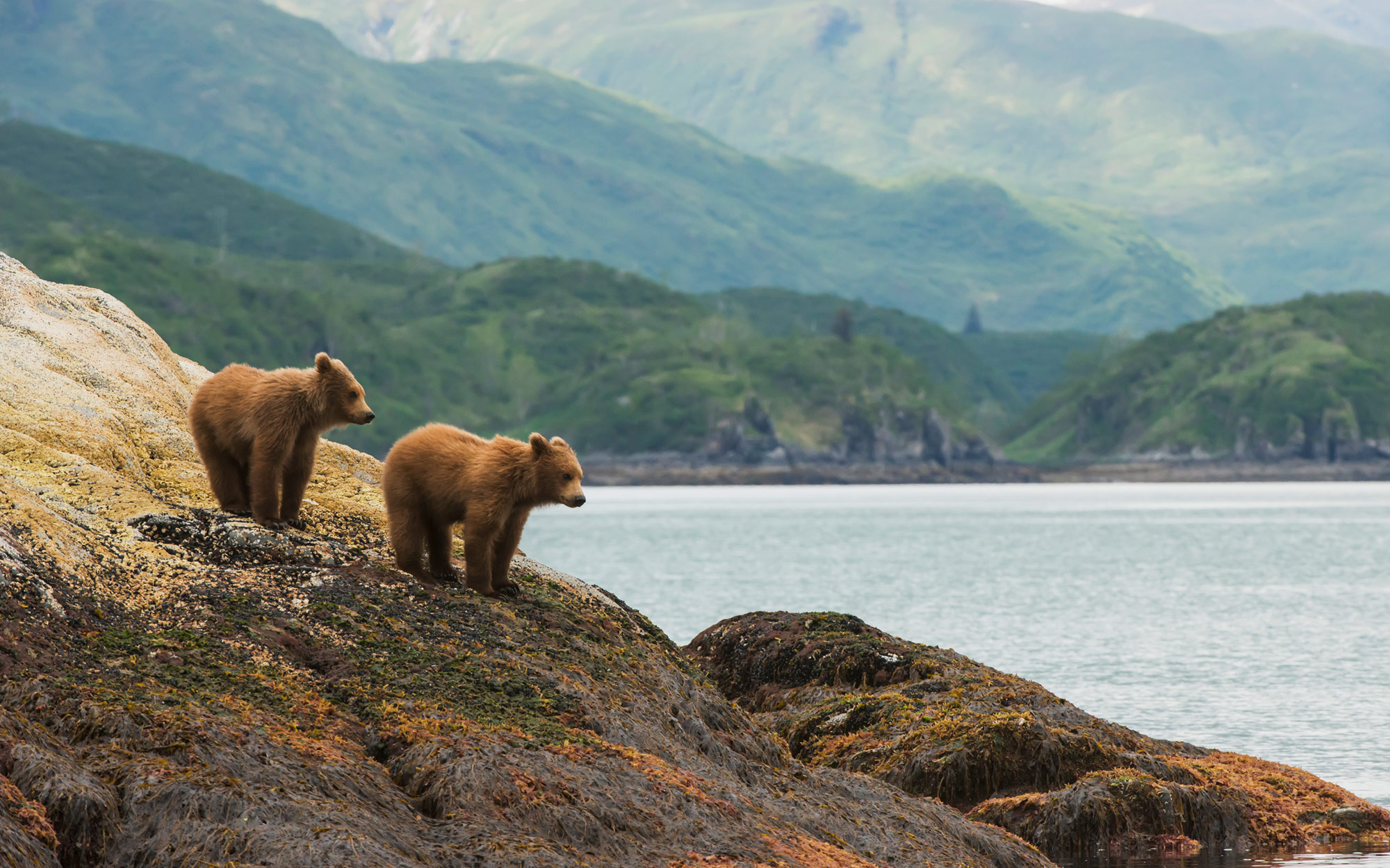Brown bear cubs, Katmai National Park & Preserve, Alaska