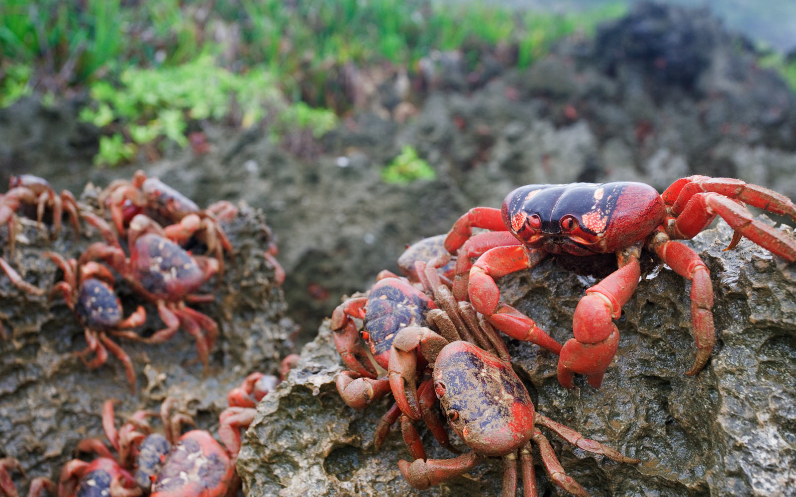 red crabs christmas island australia