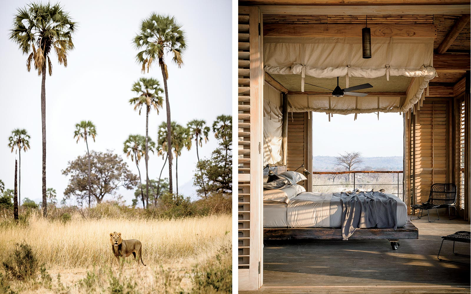 Lion in Ruaha National Park, and a room at the Asilia Jabali Ridge property