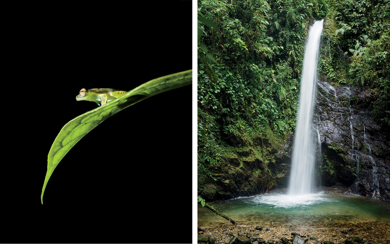 Emerald glass frog in Ecuador, and the  Healing Waterfall