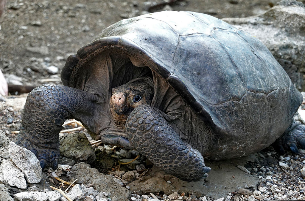 This 'Extinct' Giant Tortoise Was Just Rediscovered on the Galapagos Islands