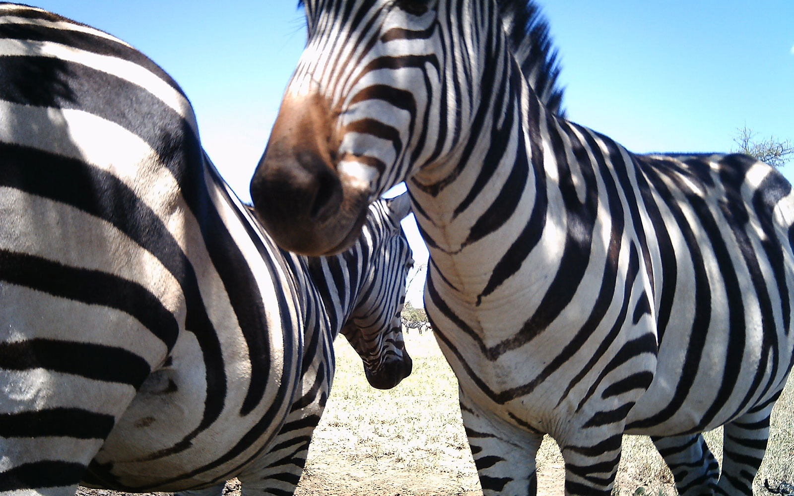 WILDLIFE0615-zebras.jpg