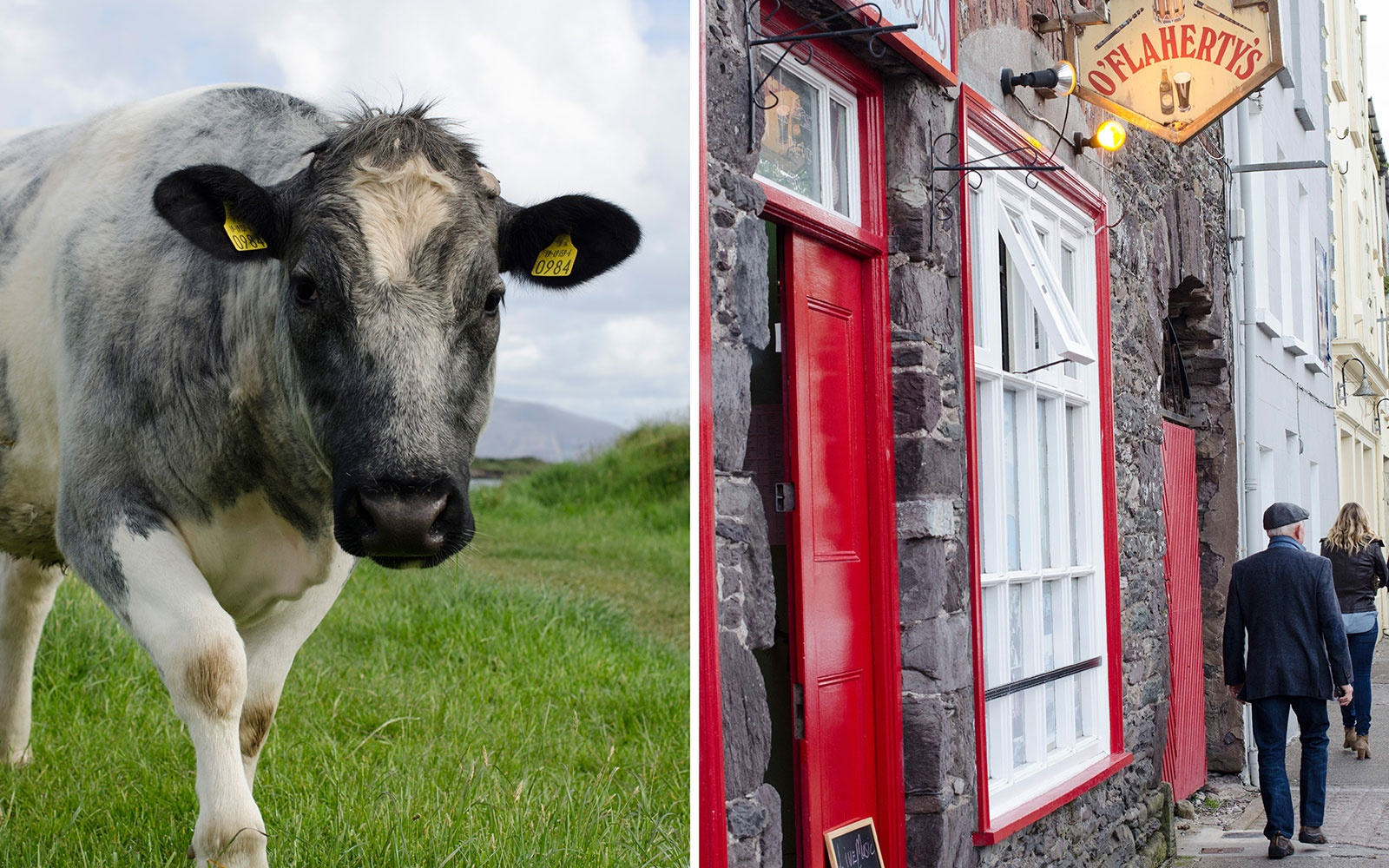 DINGLE0715-cow.jpg