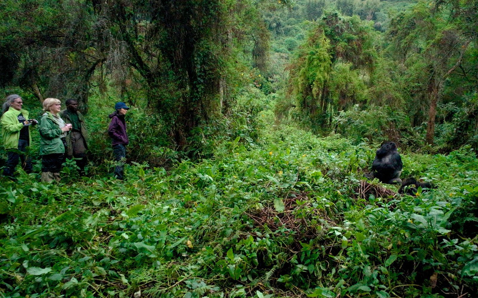 Trek Rwanda's forests in search of endangered silverback gorillas
