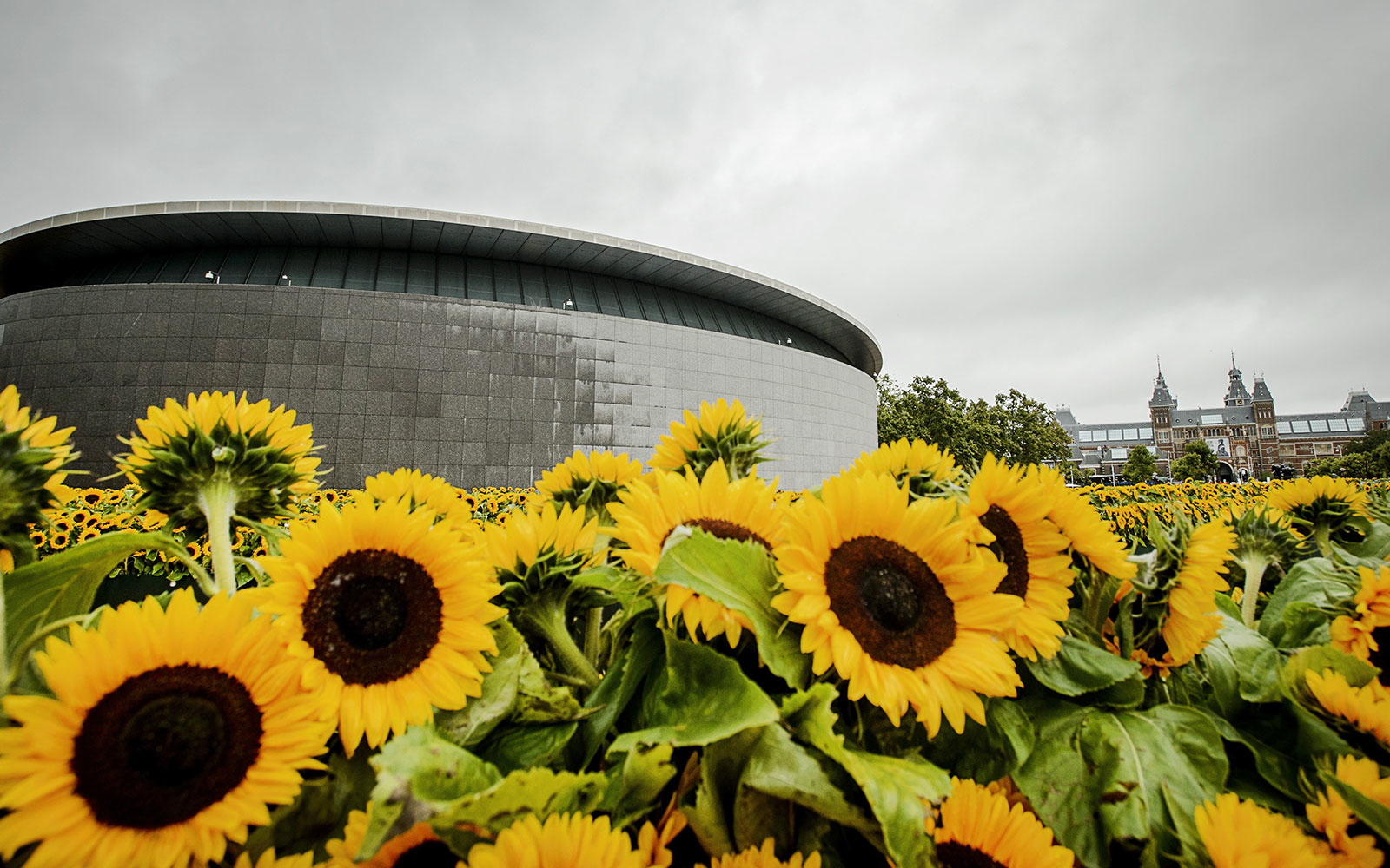 A Sunflower Maze Sprouts In Amsterdam Honor Of Van Gogh