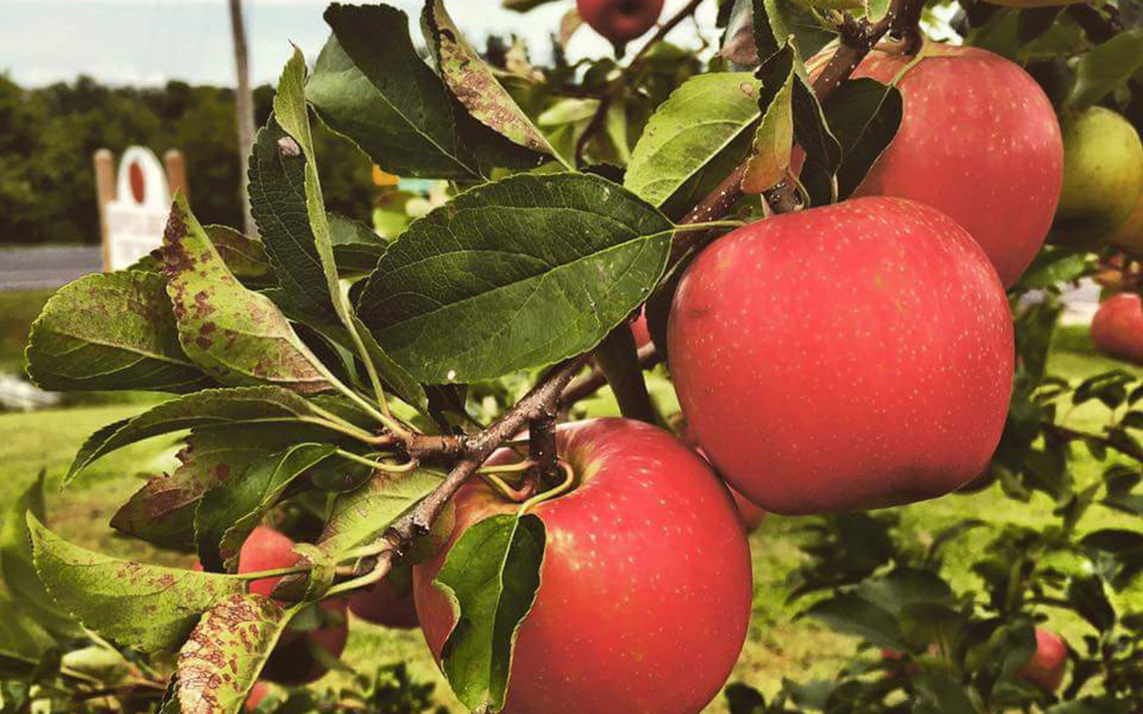 Top Apple-Picking Spots in America
