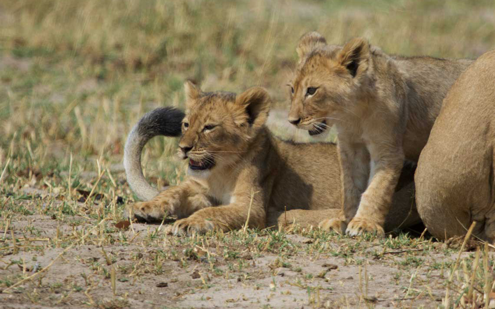 Cecil the lion has new grandcubs