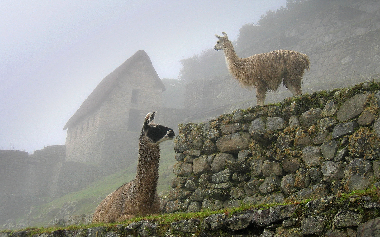 MACHU PICCHU, PERU - MARCH 20:  Llamas are pictured at the Inca ruins of the Machu Picchu sanctuary on March 20, 2005 near Cusco, Peru. The 15th-century Inca site, MachuPicchu also known as 'The Lost City of the Incas' is situated high above the Urubamba