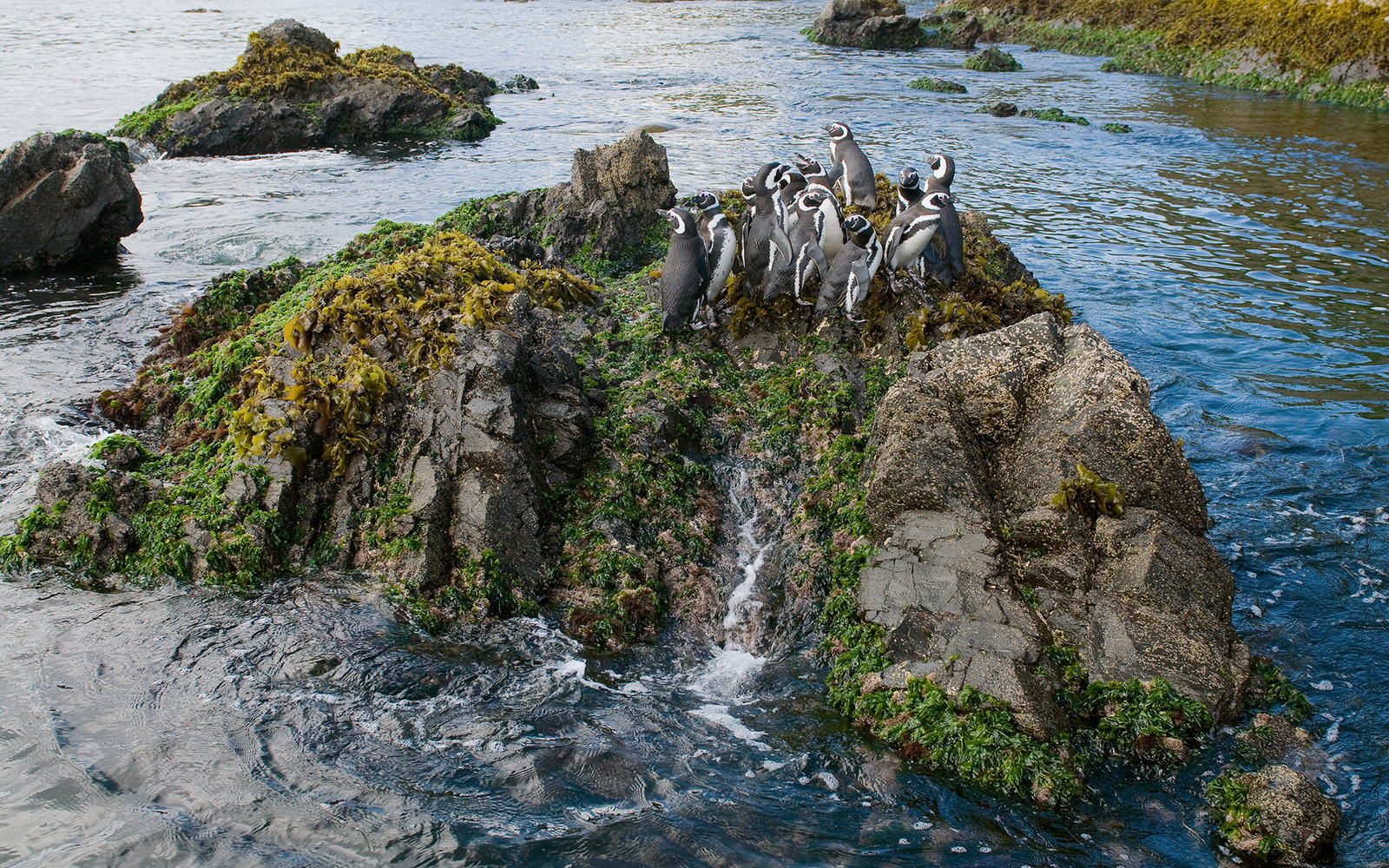 Magellanic Penguin (Spheniscus magellanicus) group on rock, Chiloe Island, Chile