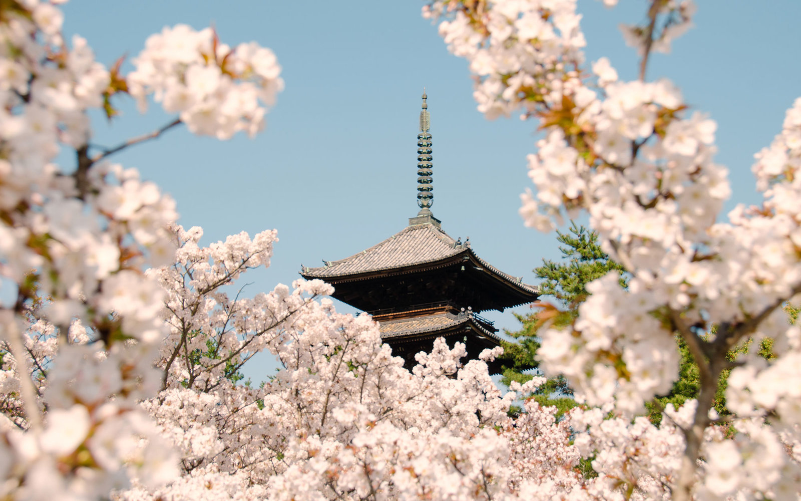Ninnaji Temple w/ cherry blossoms in bloom, Kyoto