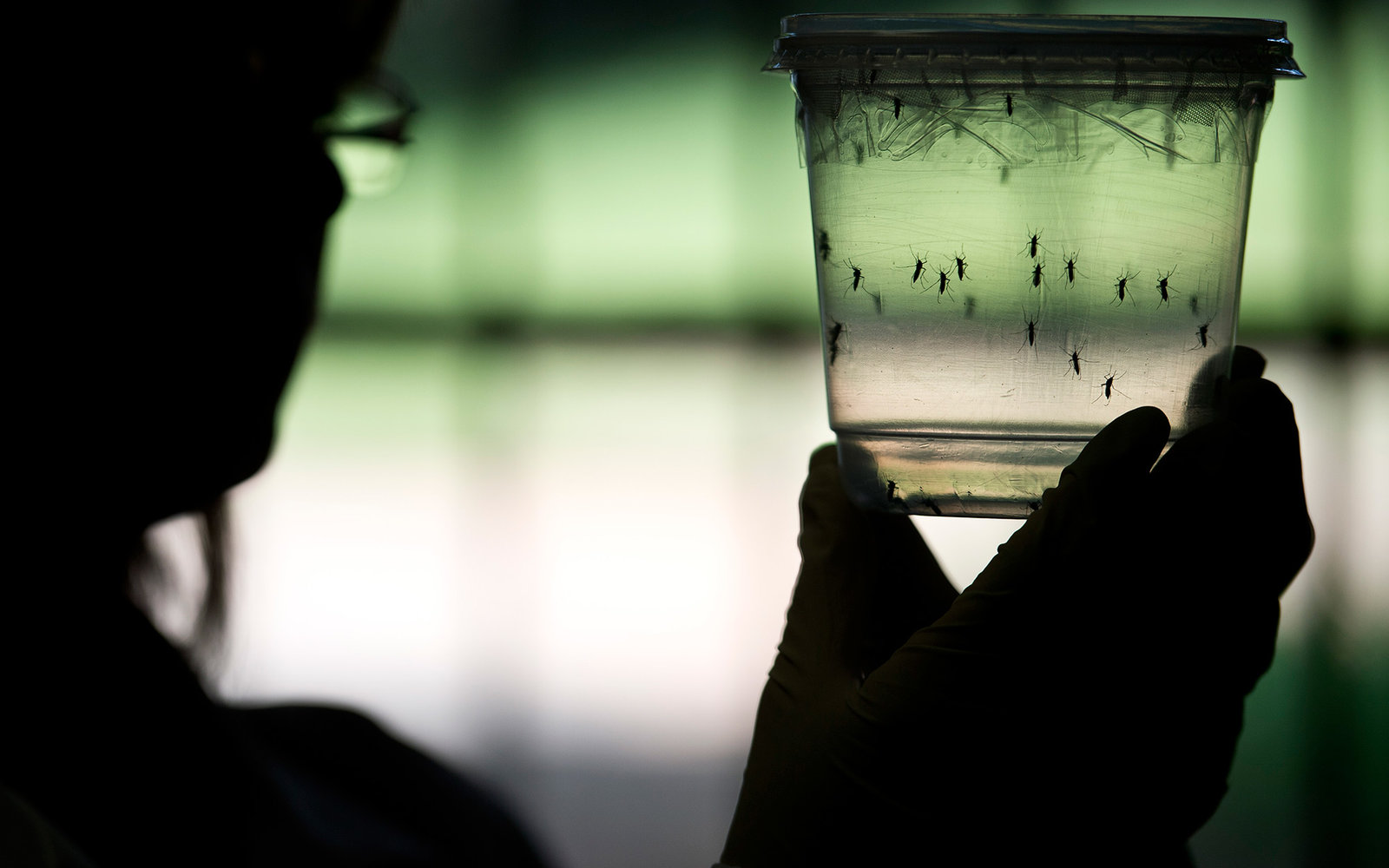 A researcher looks at Aedes aegypti mosquitoes kept in a container at a lab of the Institute of Biomedical Sciences of the Sao Paulo University, on January 8, 2016 in Sao Paulo, Brazil. Researchers at the Pasteur Institute in Dakar, Senegal are  in Brazil