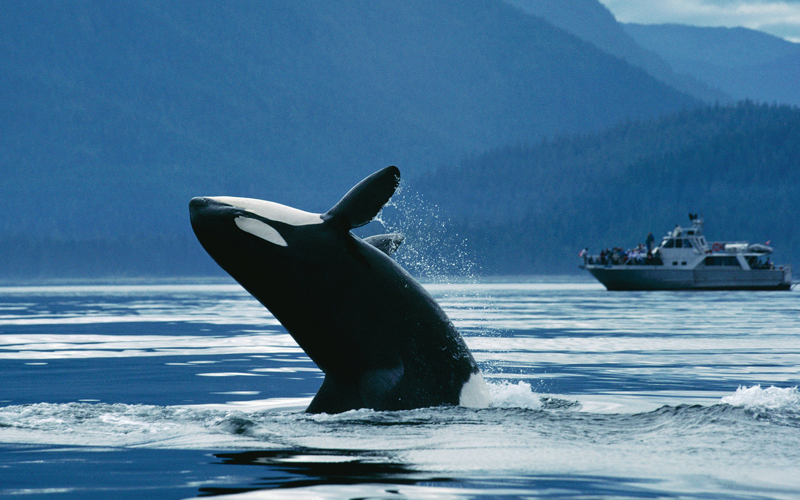 Orca (Orcinus orca) northern resident breaching in front of whale watching boat, Johnstone Strait, British Columbia, Canada