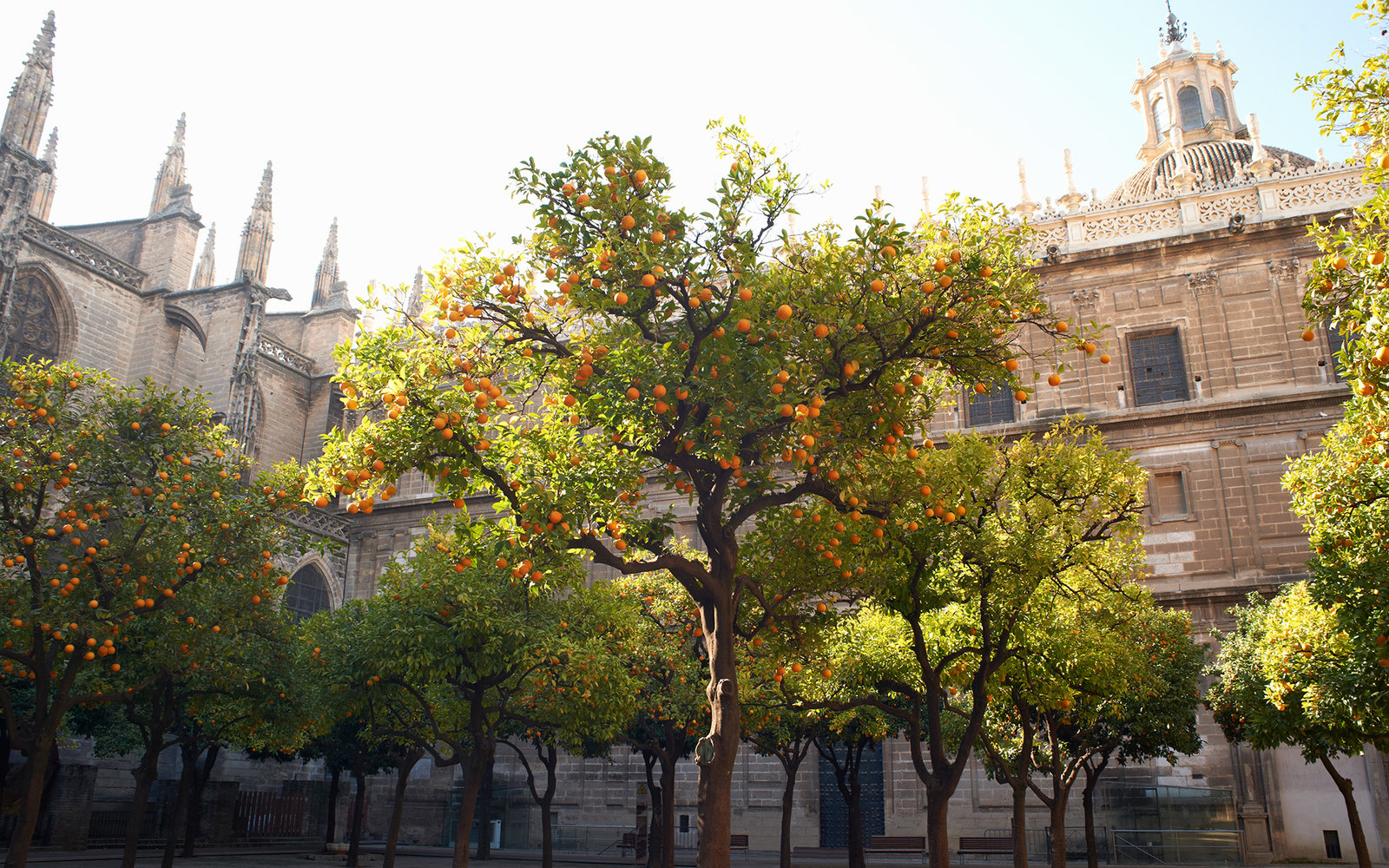 Orange tree in courtyard, Seville, Andalusia, Spain