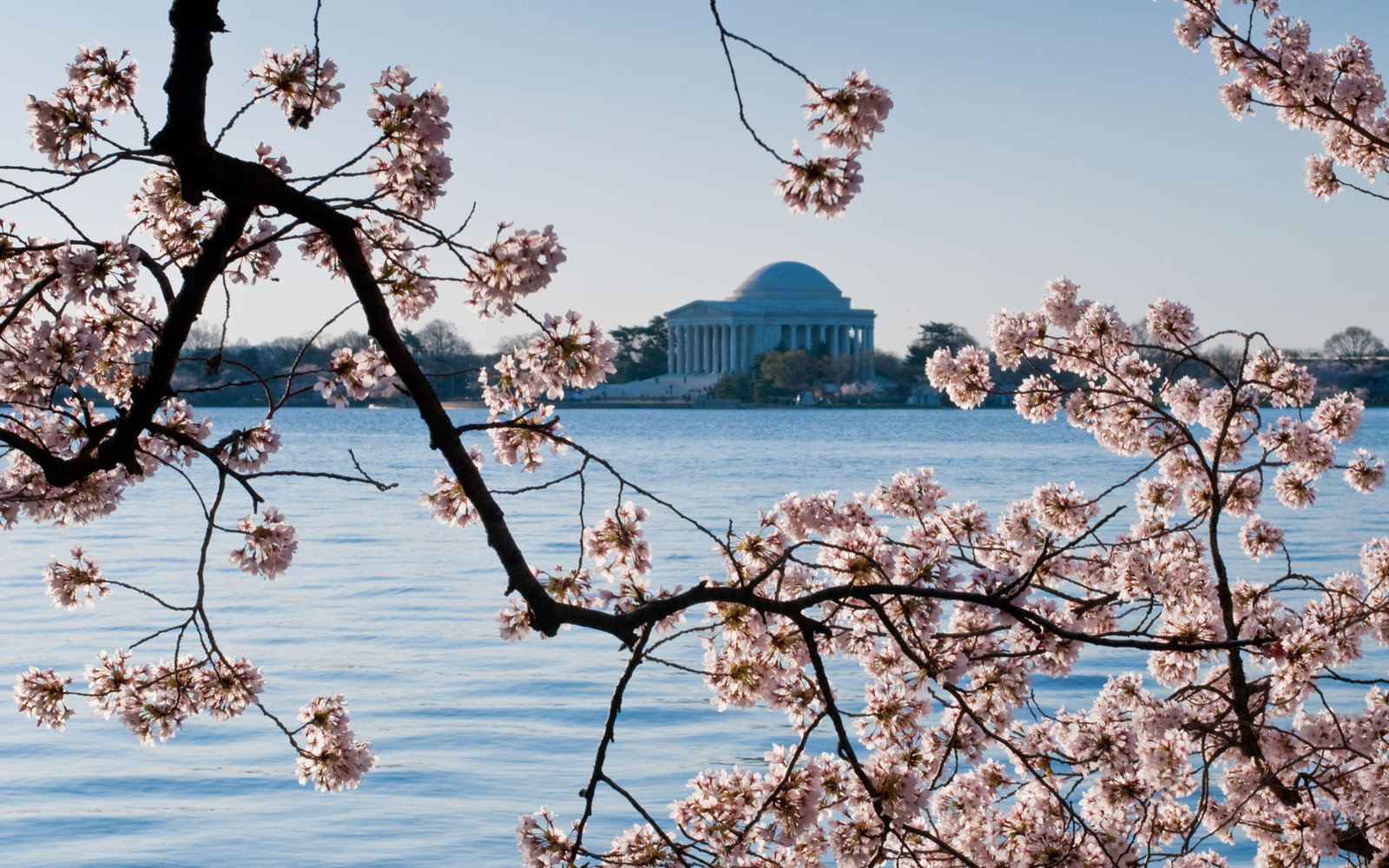 Cherry Blossoms Washington D.C.