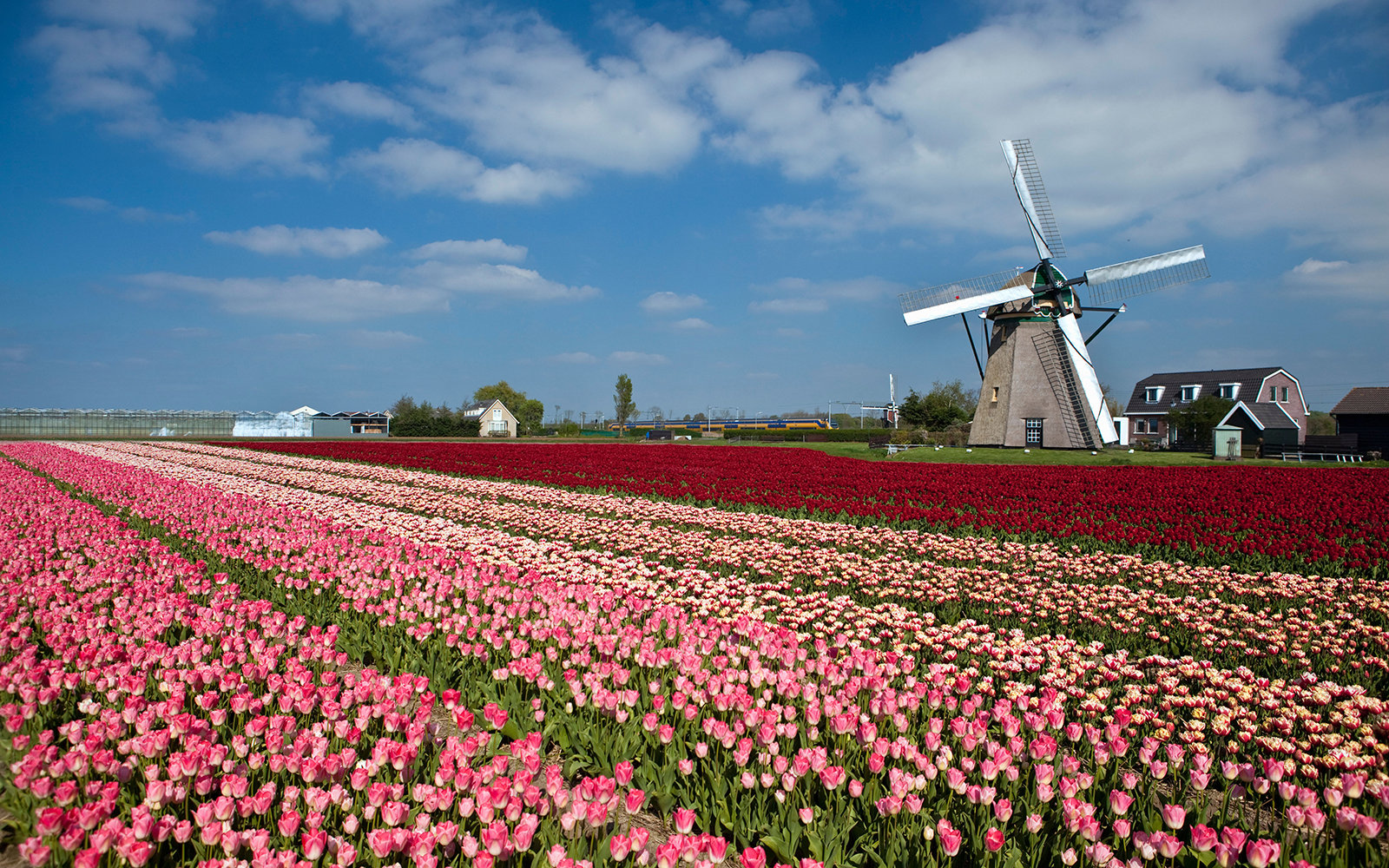 The Netherlands, Lisse, Tulip flowers. Windmill.