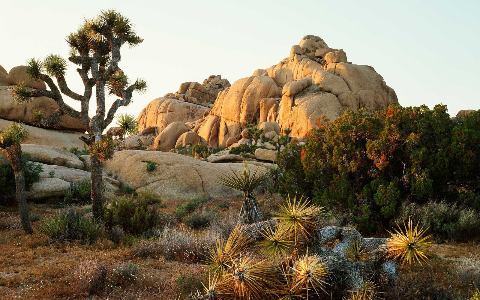 Joshua trees (Yucca brevifolia) at sunrise in Mojave Desert, Joshua Tree National Park, California, USA