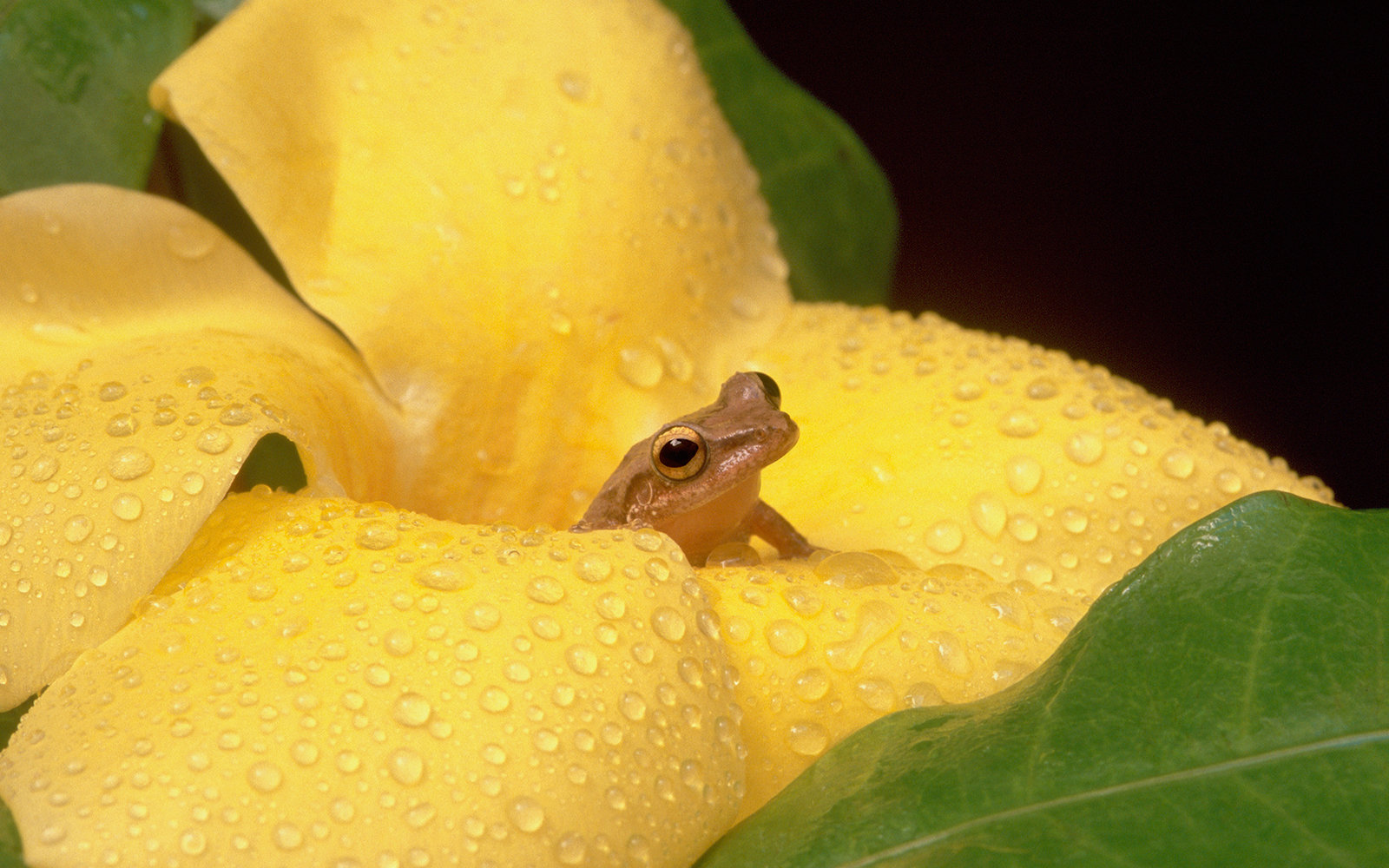 Beloved to all Puerto Ricans, a tiny coqui treefrog peeks from a rain-soaked canario flower, also known as Allamandra, yellow bell, or golden trumpet flower, an ornamental native to South and Central America.