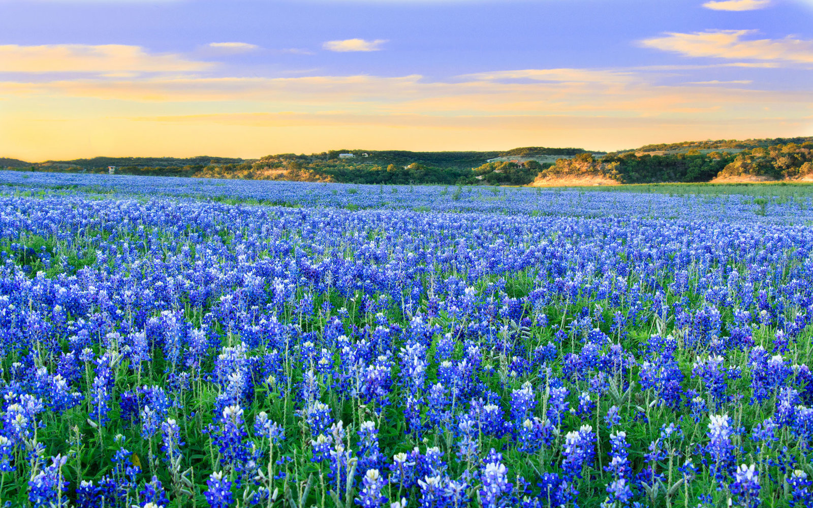 Texas Bluebonnets