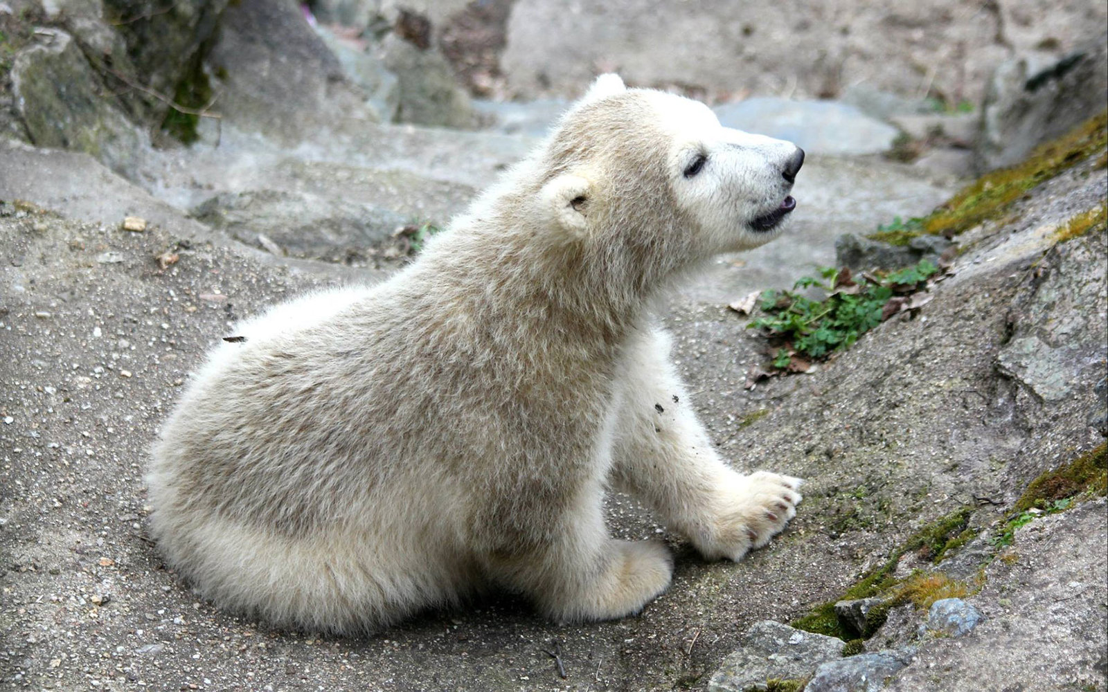 watch this adorable baby polar bear try to get his moms