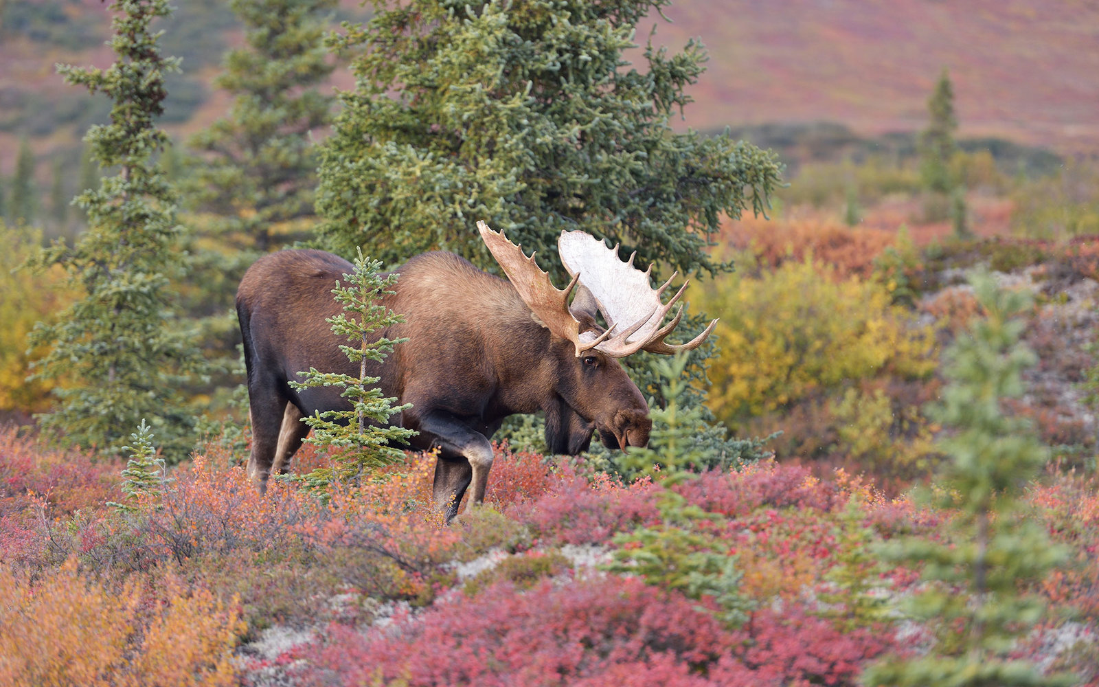Bull Moose (alces alces) Denali National Park, Ala