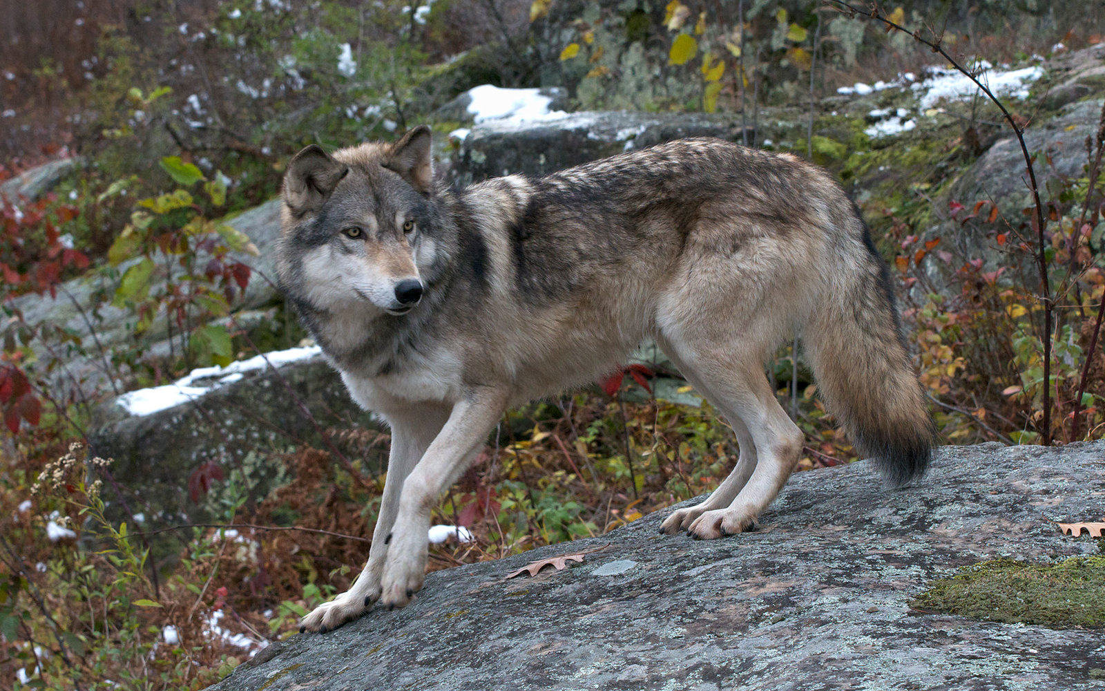 Gray Wolf, Canis lupus, Superior National Forest, MN, USA