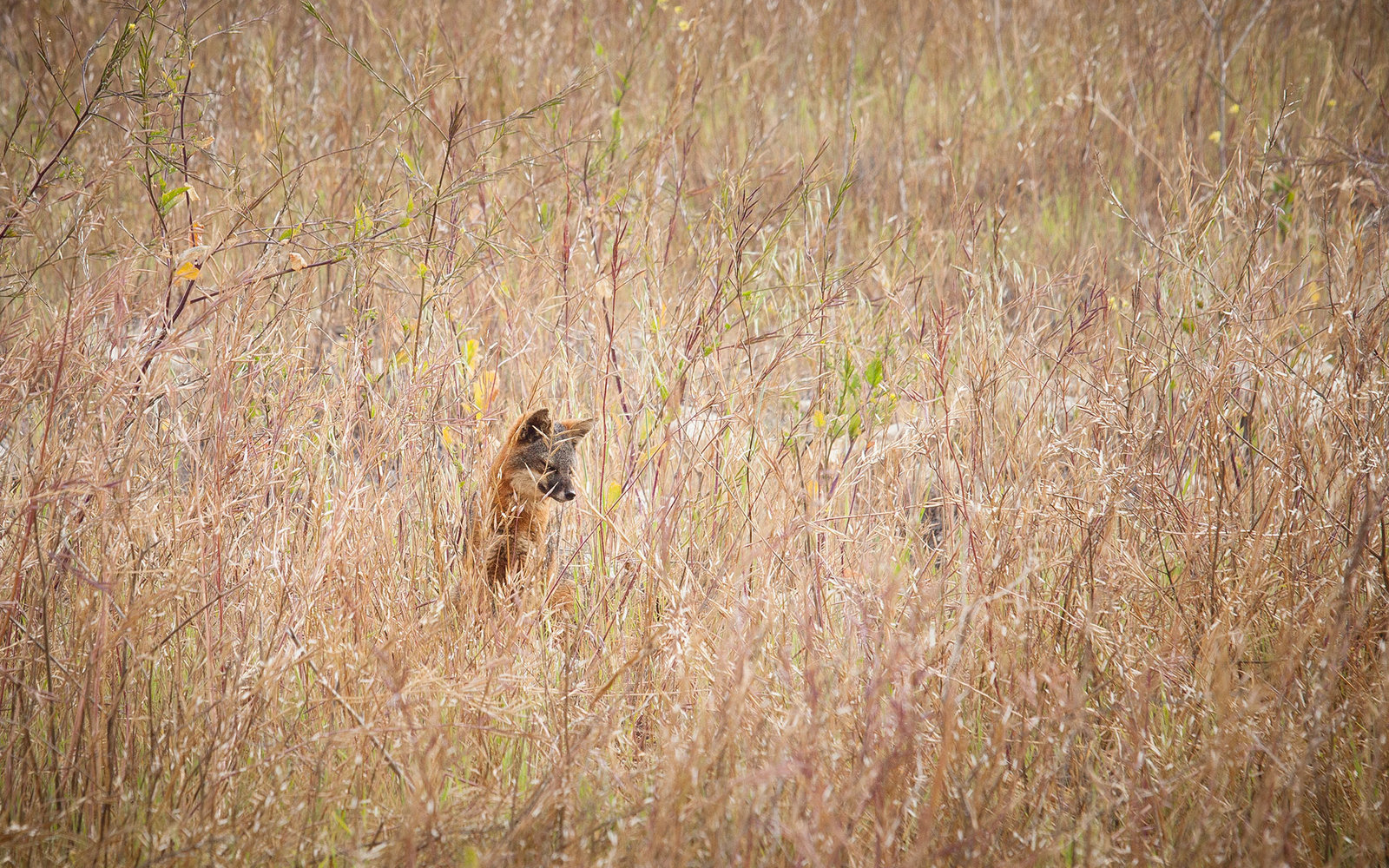 Santa Cruz Island fox (Urocyon littoralis santacruzae) in tall grass