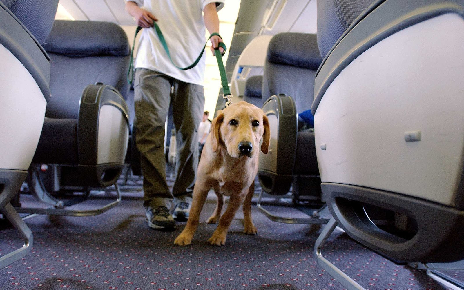 NEW YORK - MARCH 27: Student guide dog Max, a Golden Retreiver puppy, pulls his handler down the aisle of a plane during their training program March 27, 2004 at New Liberty International airport in New Jersey. These training sessions are created by The s