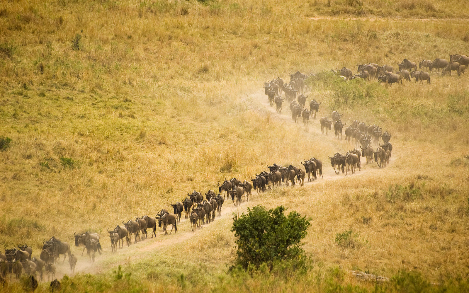 Wildebeests migration Maasai Mara National Reserve Kenya