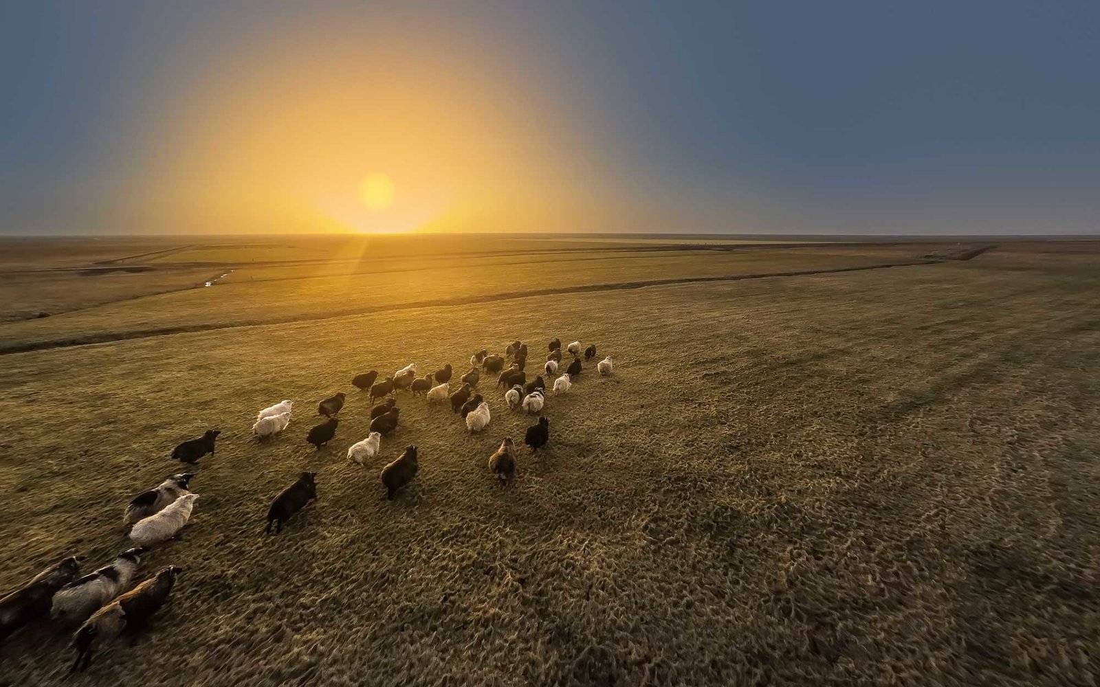 Sheep running at sunset, Iceland