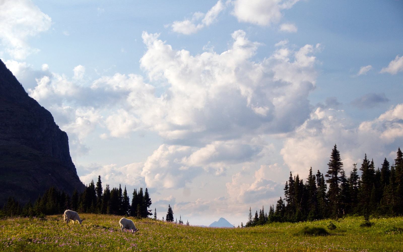 Two mountain goats graze in a field of wildflowers in Glacier National Park Montana