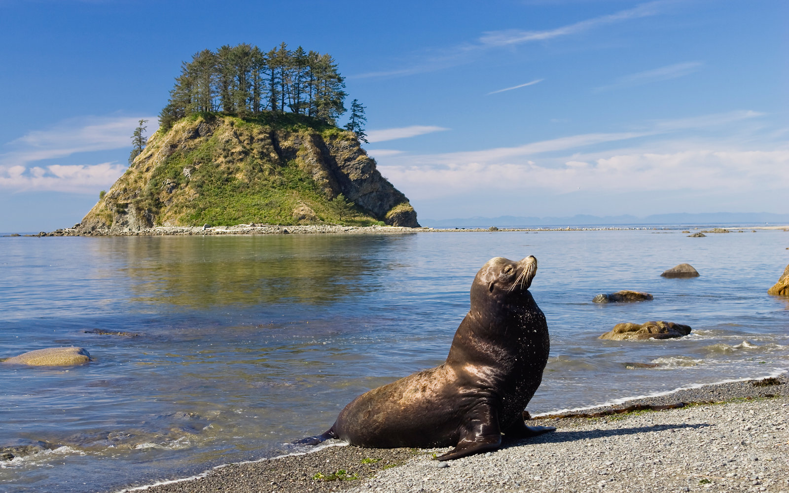 California Sea Lion at Cape Alava, Olympic National Park, Washington