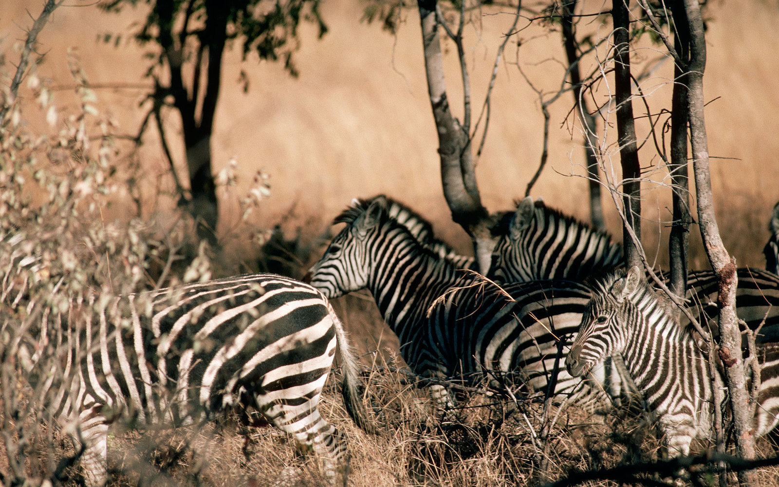 Zebras in Hwange National Park