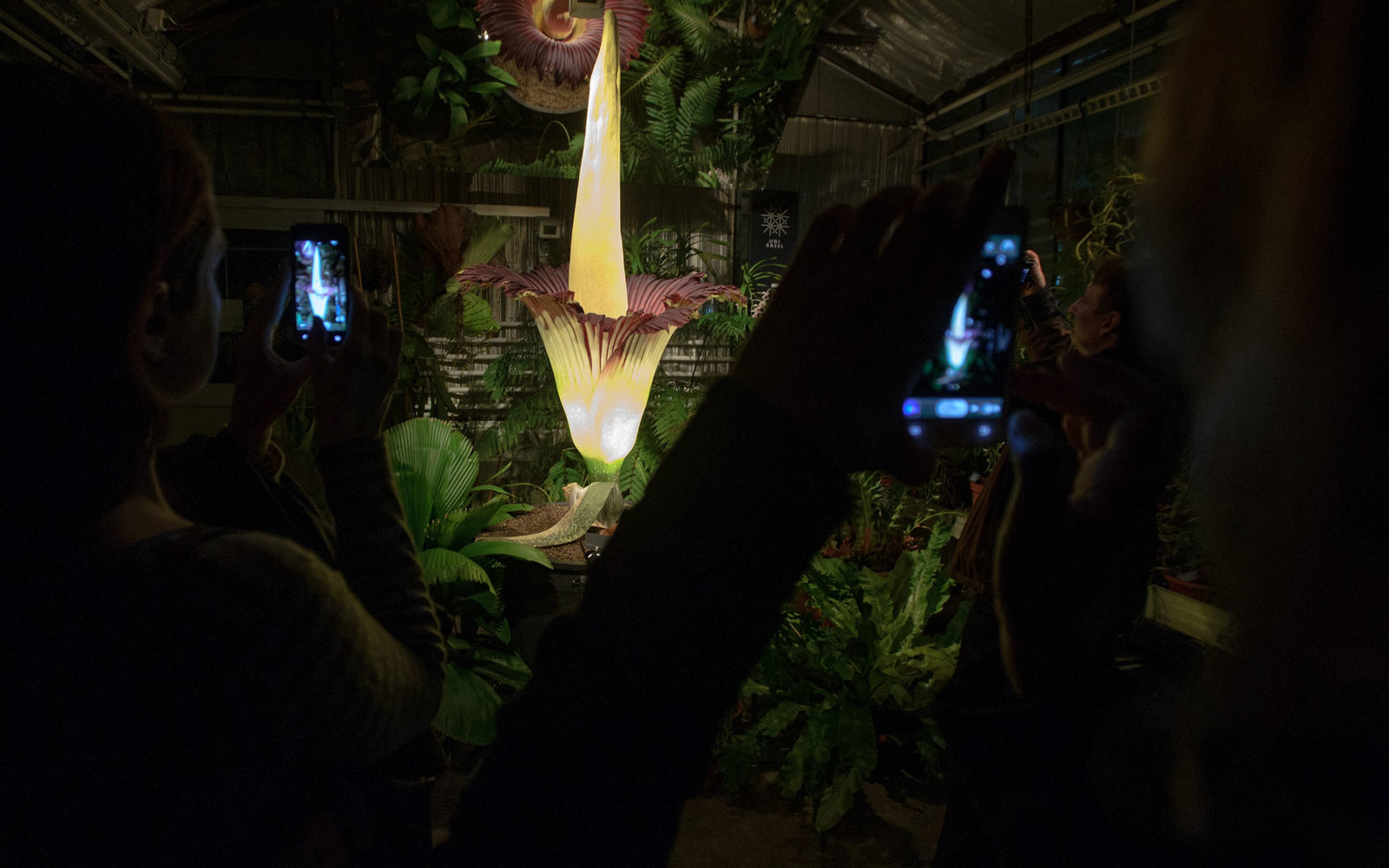 In Texas a Giant Smelly Corpse Flower Named Morticia Bloomed Wat