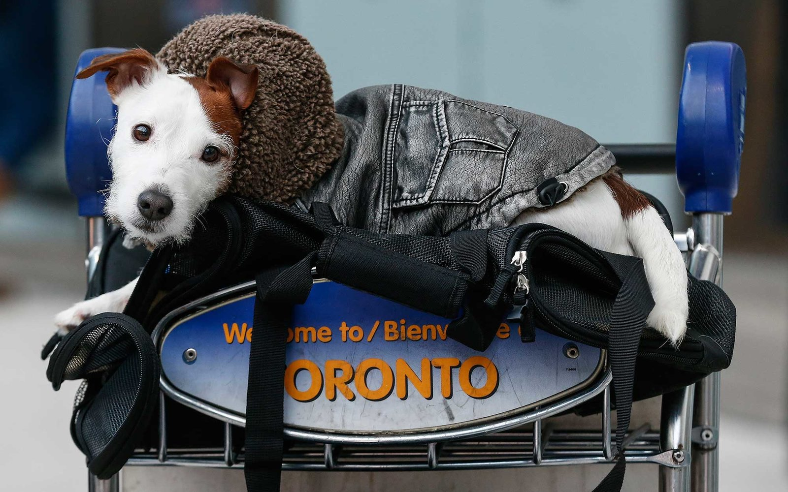 TORONTO, ON - JANUARY 7  -  Bear, a Jack Russell Terrier, waits in a luggage rack with his owner Ryan Racik, of Hamilton, but now living in and trying to get back to Edmonton. Racik said his Westjet flight last night was cancelled due to the weather. He w