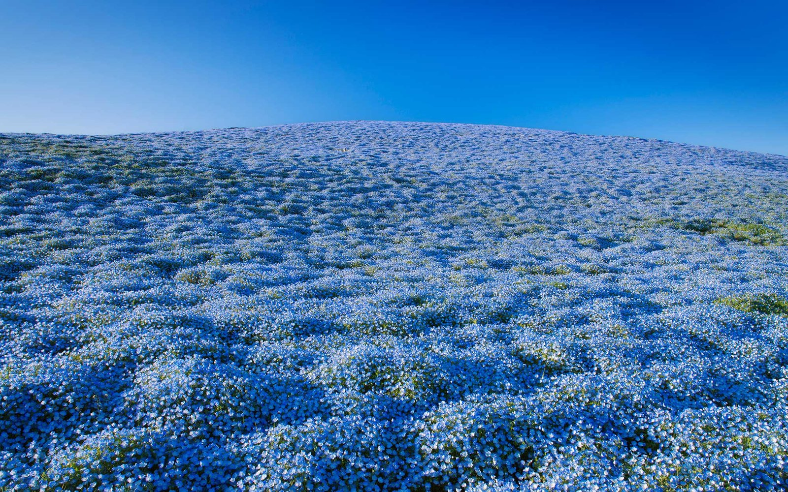 Over 4 Million Blue Flowers are Blooming in a Japanese Park Right Now
