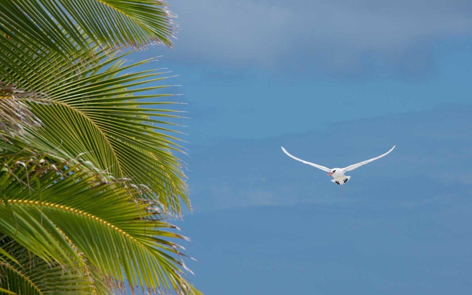 The red-tailed tropicbird