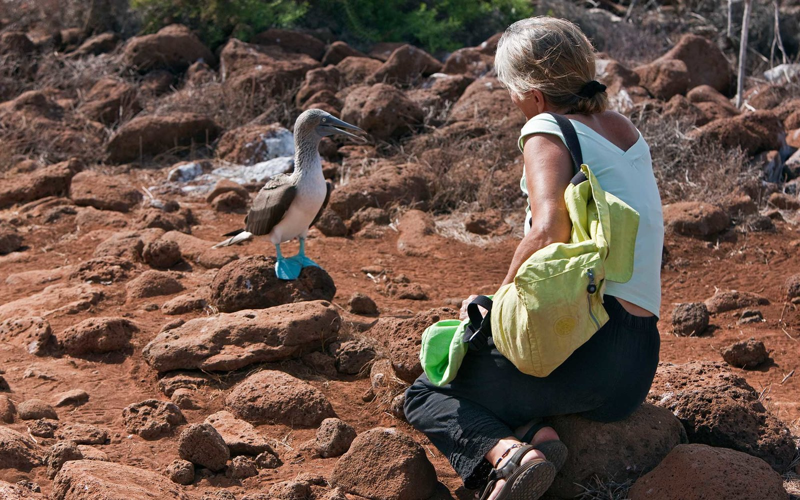 Blue-footed boobies in the Galapagos Islands, Ecuador