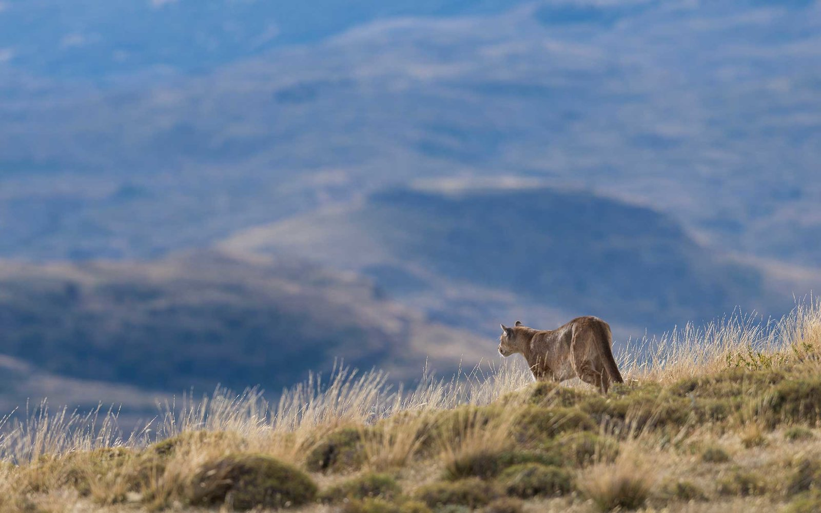 Puma Tracking in Patagonia, Chile