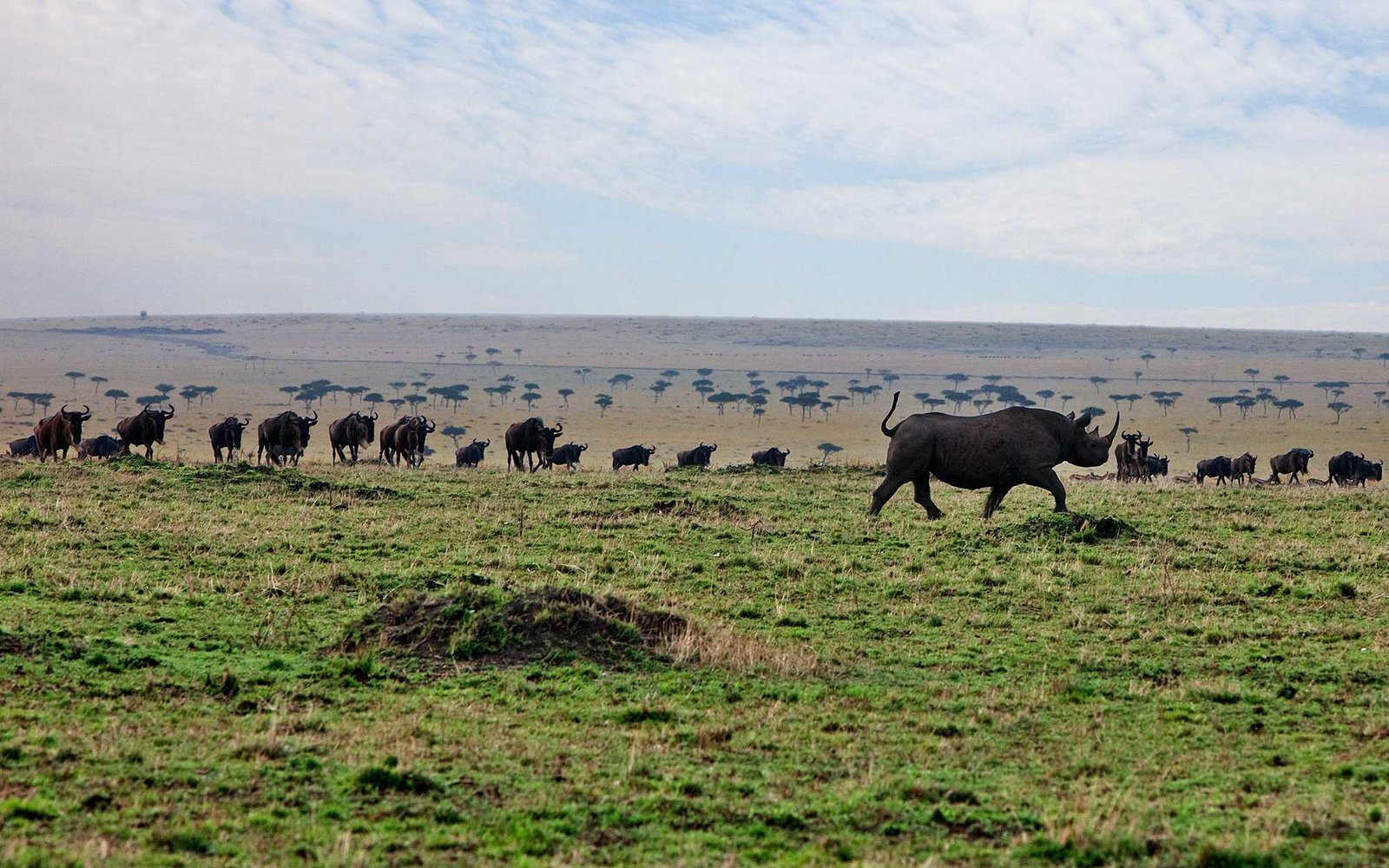 Kenya. A black rhino passes curious wildebeest on the plains in Masai Mara National Reserve.