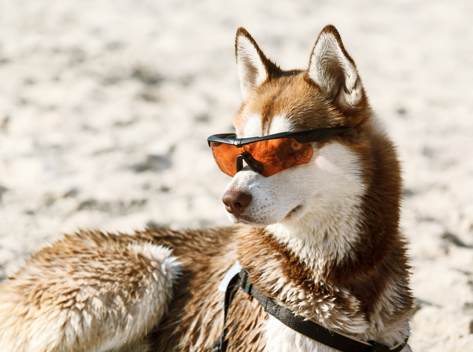 Husky laying in sun glasses on sand