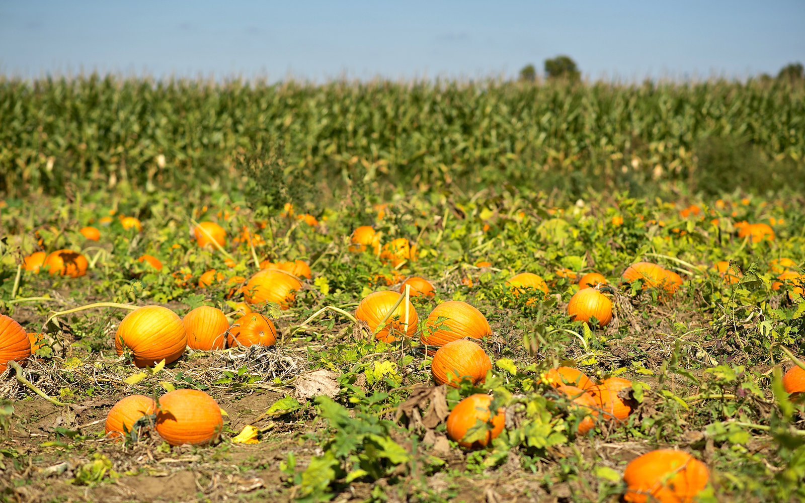 A Pumpkin Patch full of pumpkins in  October at a local farm in Southern New Jersey.