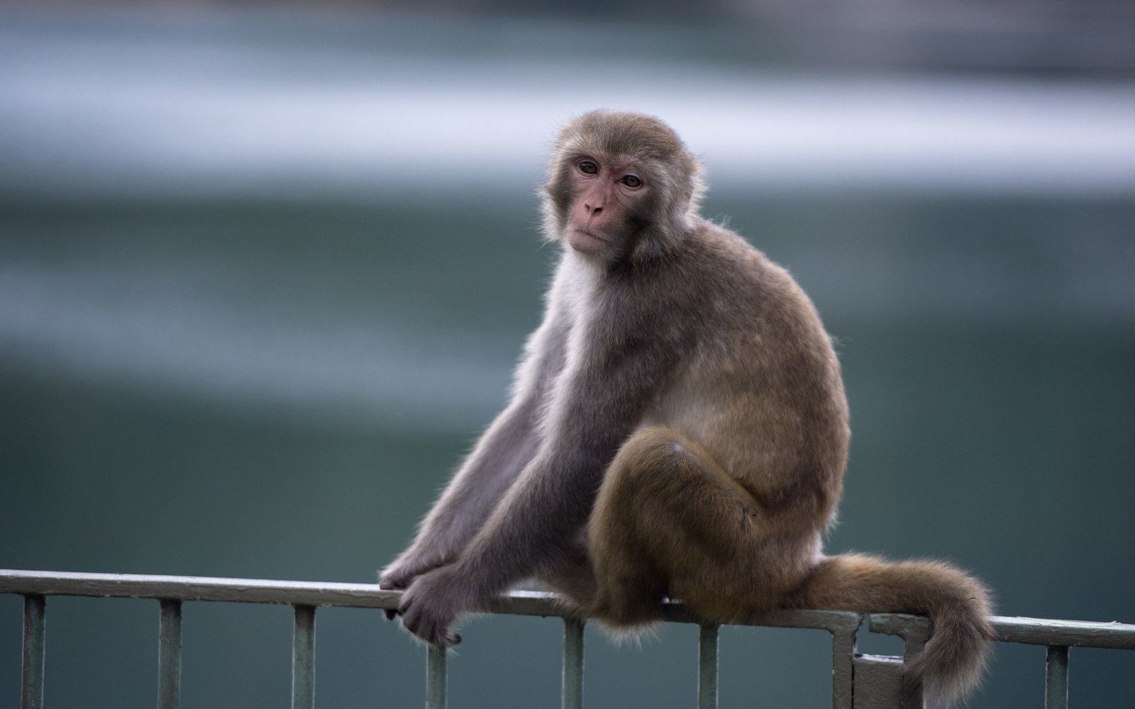 Macaques Cover Tourist
