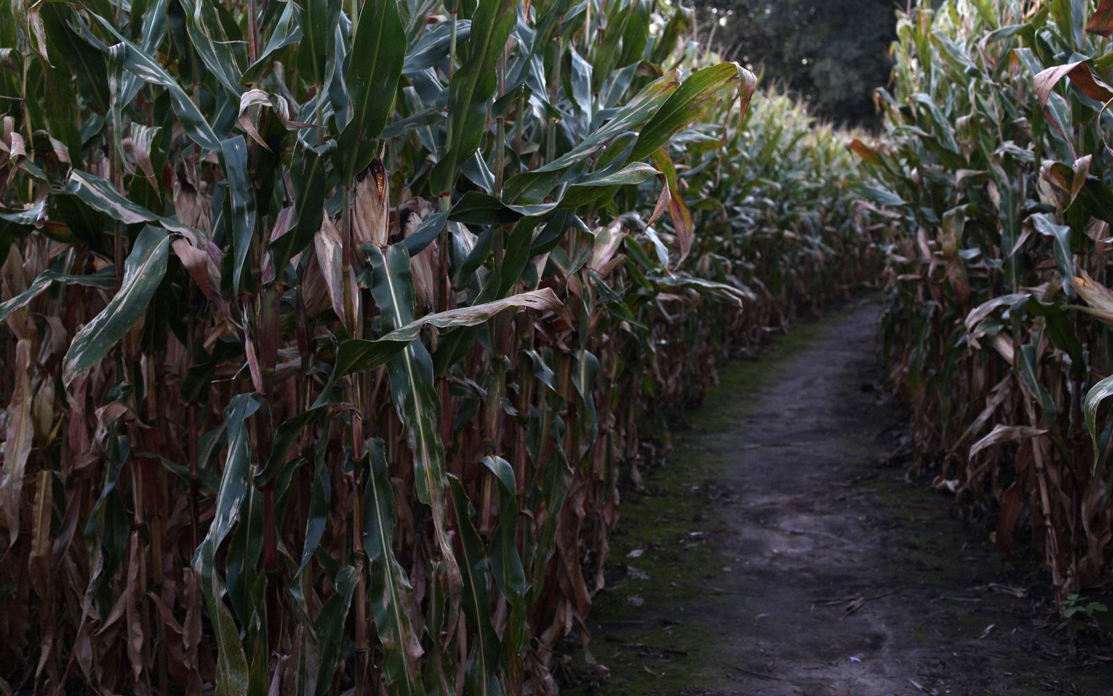 Creepiest Haunted Corn Mazes