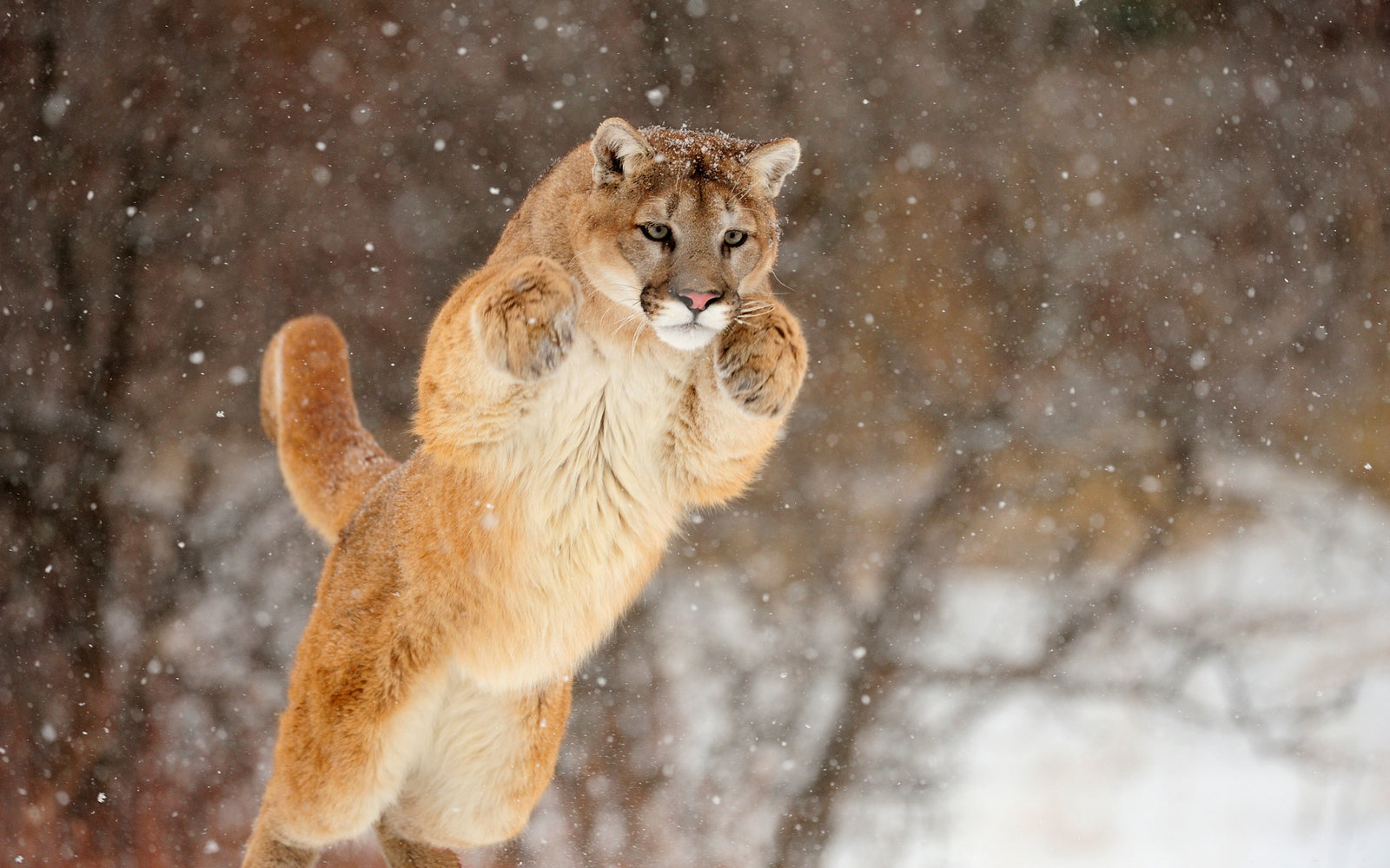 Here's What to Do If You're Attacked by a Mountain Lion