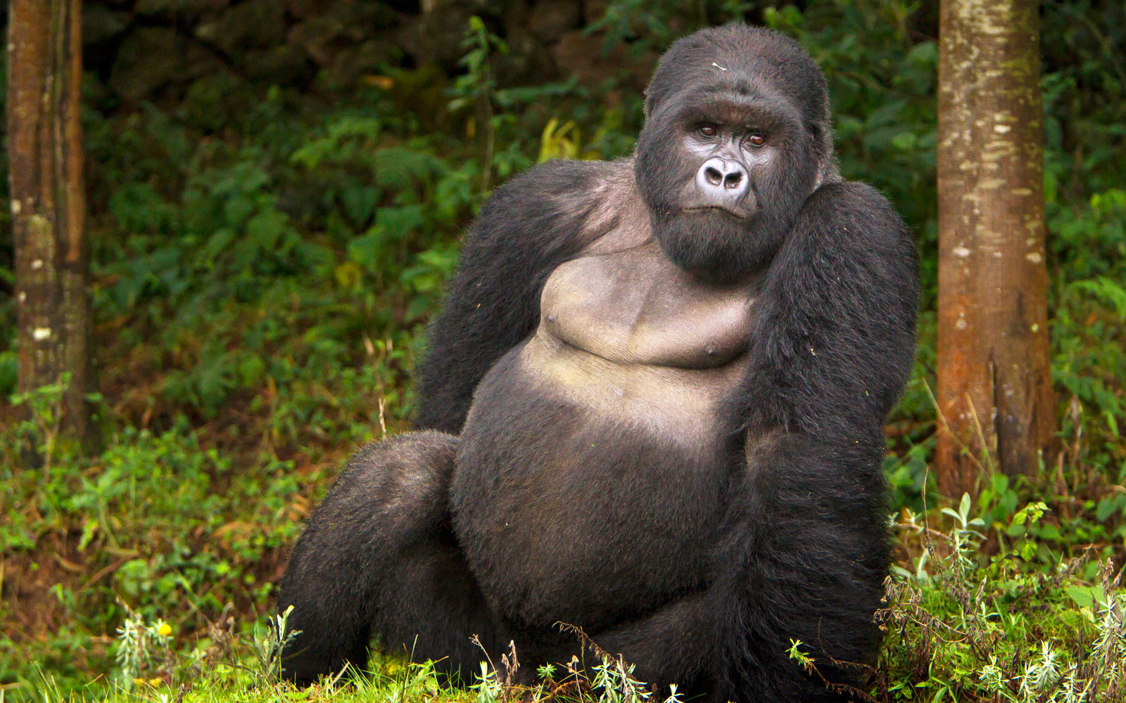 Gorillas Face Greater Threat While Pandas Move Off 'Endangered' Species List