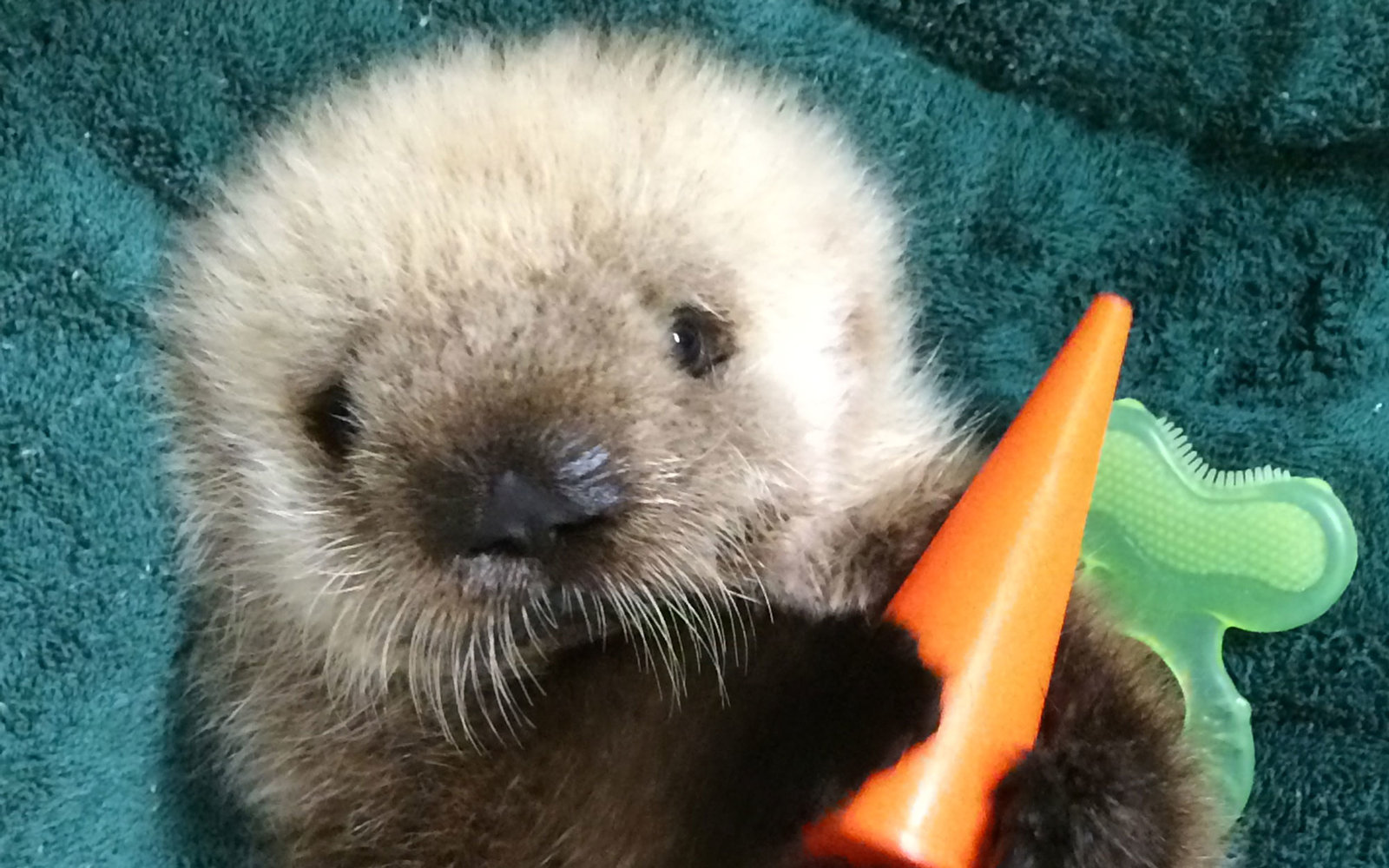 This Week in Cute Zoo Animal Births: a Sea Otter Transfer ...